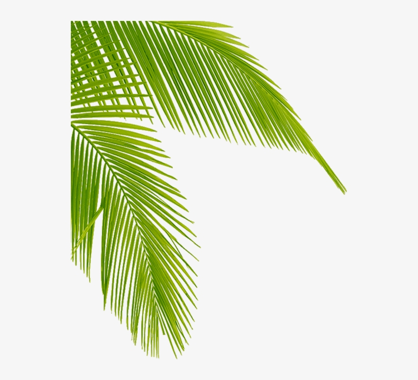 Download Transparent Palm Tree Leaves Png Clipart Leaf.