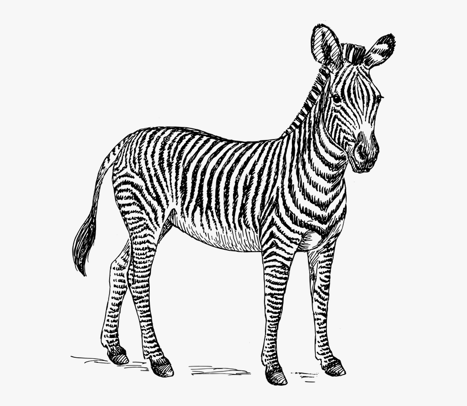 Zebra Safari Africa Animal Biology Mammal Zoology.