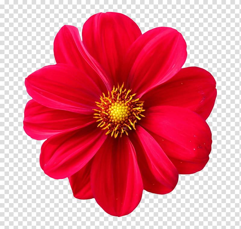 Spring YEAR ON DA, red dahlia flower isolated on black.