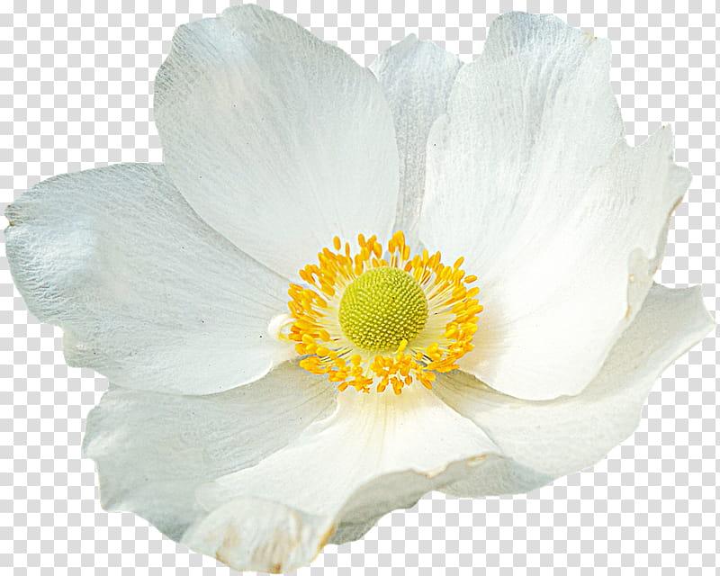 Spring YEAR ON DA, white anemone flower isolated on black.