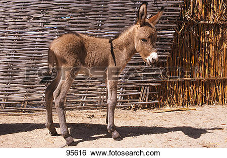 Stock Images of donkey, african, wild, ass, foal 95616.
