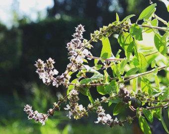 Ocimum basilicum.