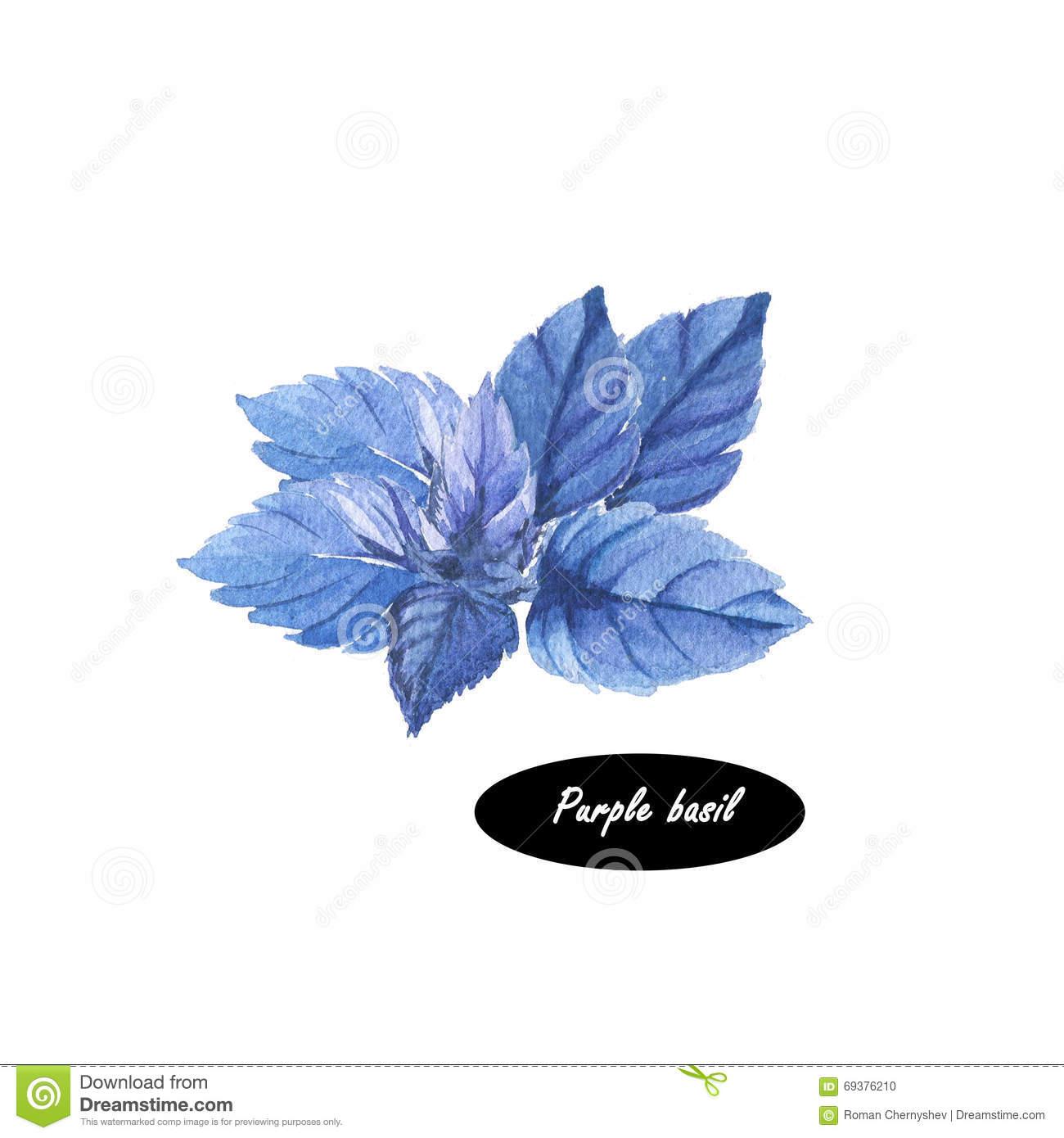 Basil Herb Spice Leaf On White Background Stock Illustration.