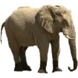 African Bush Elephant Clipart Clipground