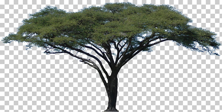 Acacia African Trees , oak, green leafed tree PNG clipart.