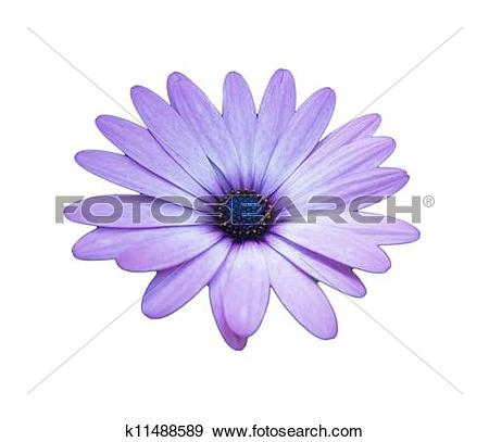 Stock Photograph of purple african daisy on white background.