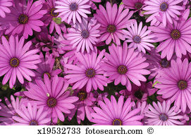 African daisy Images and Stock Photos. 1,883 african daisy.