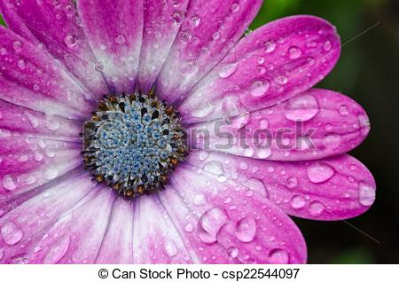 Free African Daisy Clipart.
