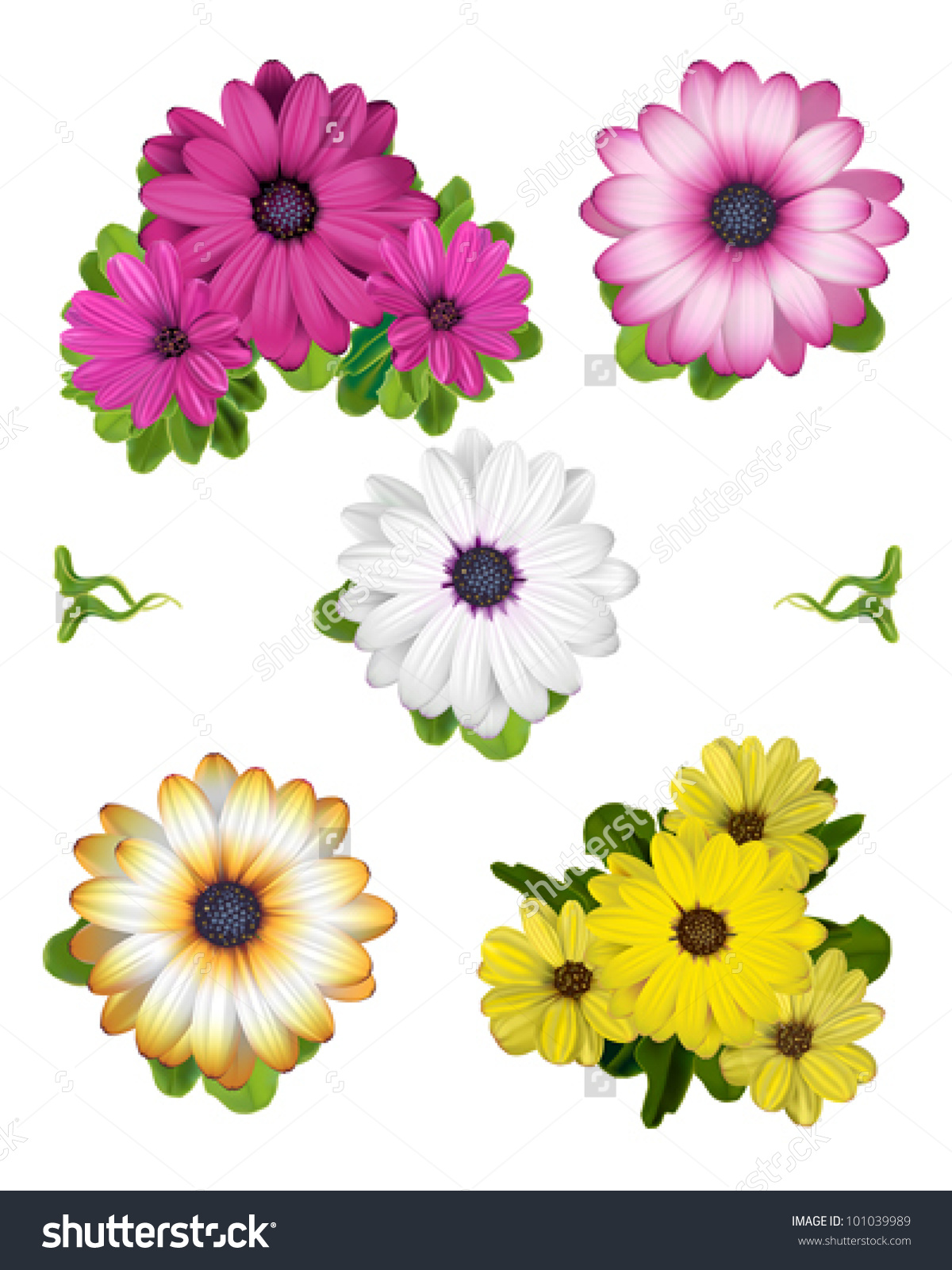 Collection African Daisy Vector Illustrations Stock Vector.