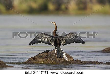 Stock Photography of African Darter (Anhinga rufa), basking in.