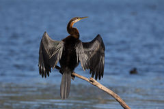 Birdlife In Africa: African Darter Royalty Free Stock Images.