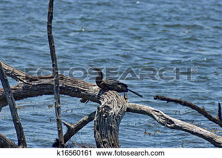 Stock Photography of African Darter or Snakebird k16560161.