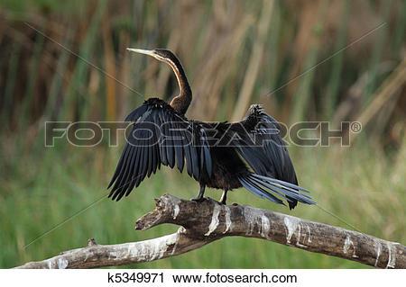 Stock Photography of African Darter (Anhinga melanogaster rufa.