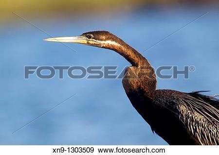 Stock Photograph of African darter Anhinga melanogaster, Chobe.