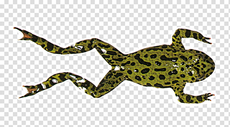 Swimming, Frog, Amphibians, Frog Legs, Toad, Drawing, Human.