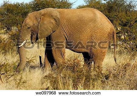 Pictures of African Elephant foraging in the thorn bush savannah.