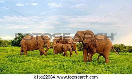 Stock Photo of african elephants in bush savannah. Botswana.