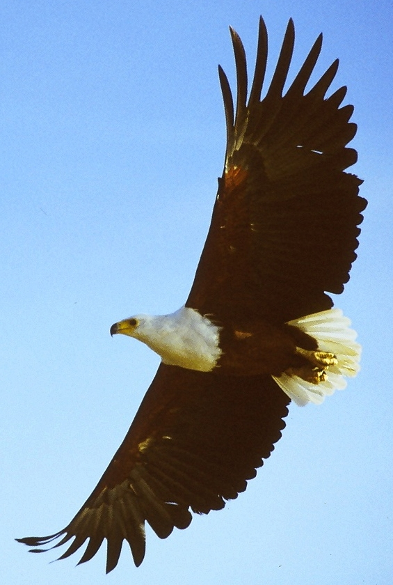 File:African fish eagle flying cropped.jpg.