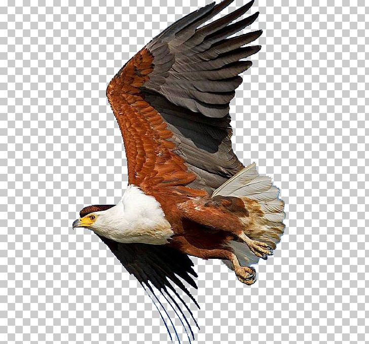 Bald Eagle African Fish Eagle Bird Sahara PNG, Clipart.