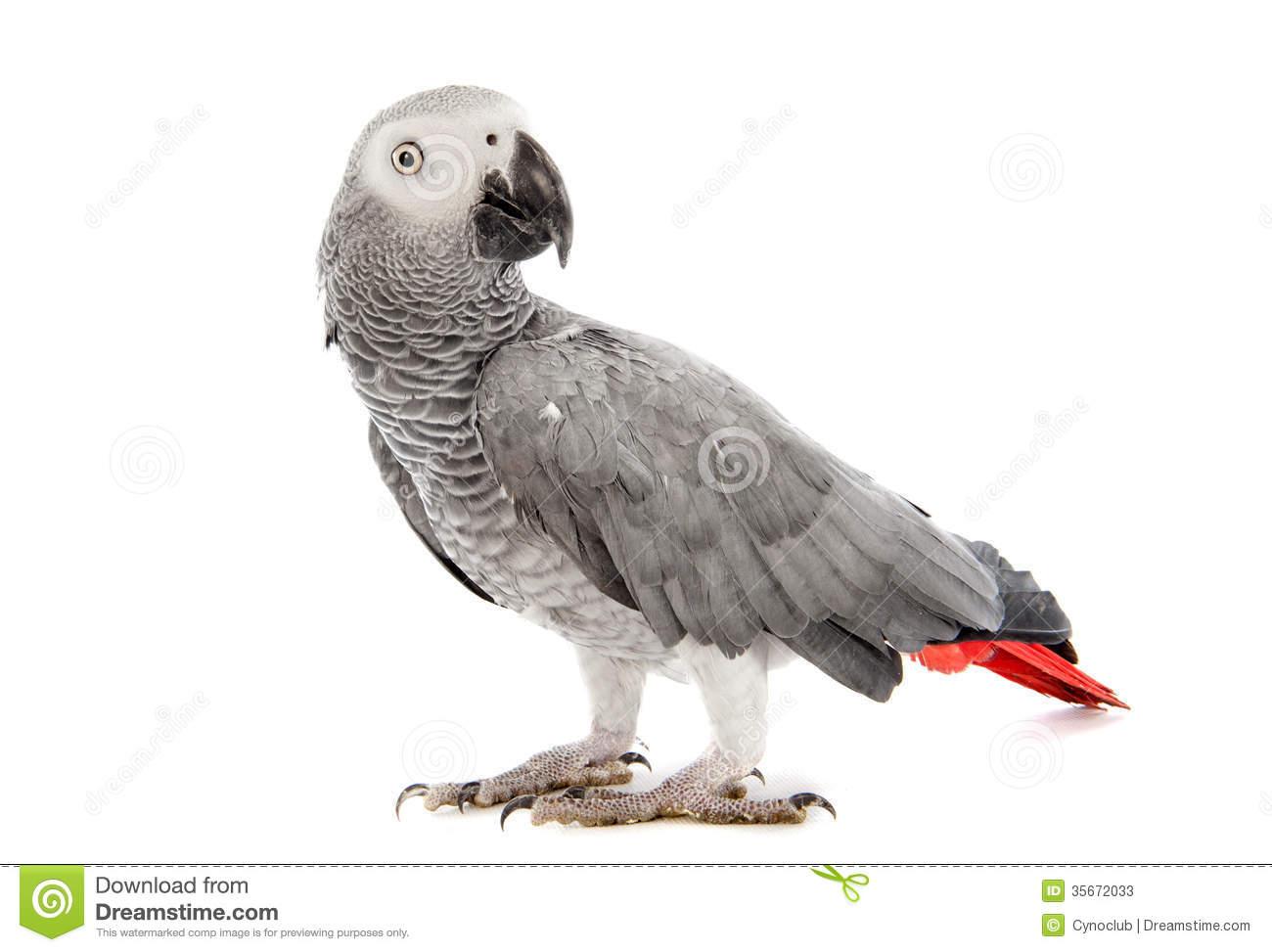 African Grey Parrot Stock Photos.