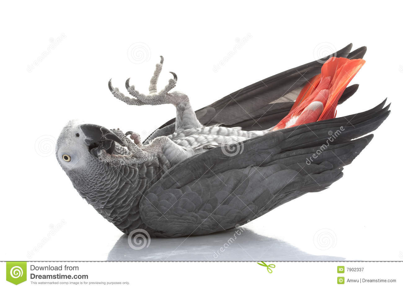 African Grey Parrot Royalty Free Stock Photography.