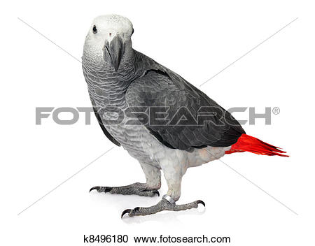 Stock Photography of African Grey Parrot isolated on a white.