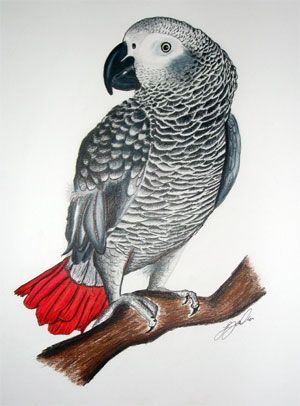 1000+ images about AFRICAN GREYS on Pinterest.