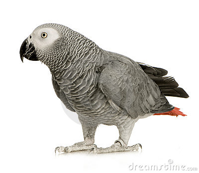 African Grey Parrot Isolated White Stock Photos, Images.