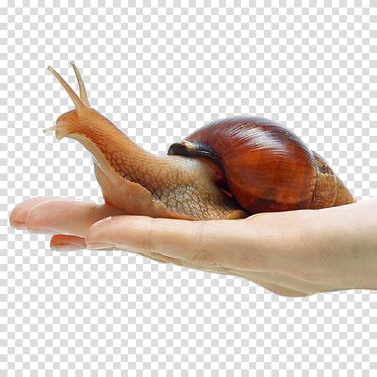 Giant African Snail Achatina achatina Orthogastropoda Land.