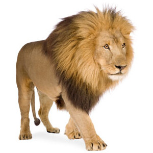 Free African Lion Clipart Pictures.