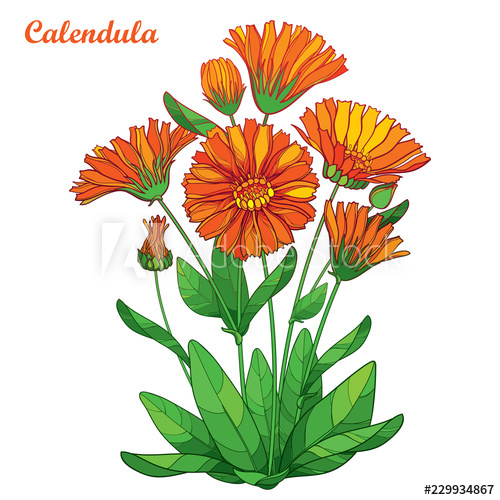 Vector bouquet with outline Calendula officinalis or pot.