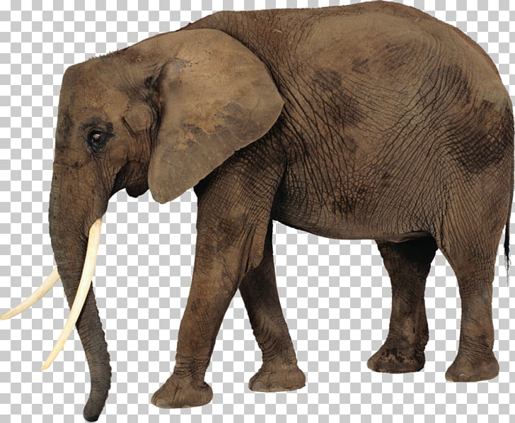 African bush elephant Desktop , elephant PNG clipart.