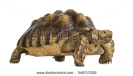 African Spurred Tortoise Know African Spur Stock Photo 29357194.