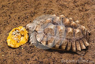 African Spurred Tortoise Eat A Pumpkin Stock Photo.