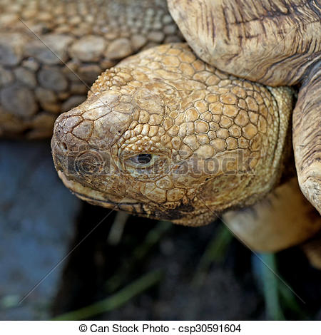 Stock Photography of african spurred tortoise or geochelone.