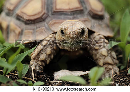 Stock Photography of African Spurred Tortoise (Sulcata) k16790210.