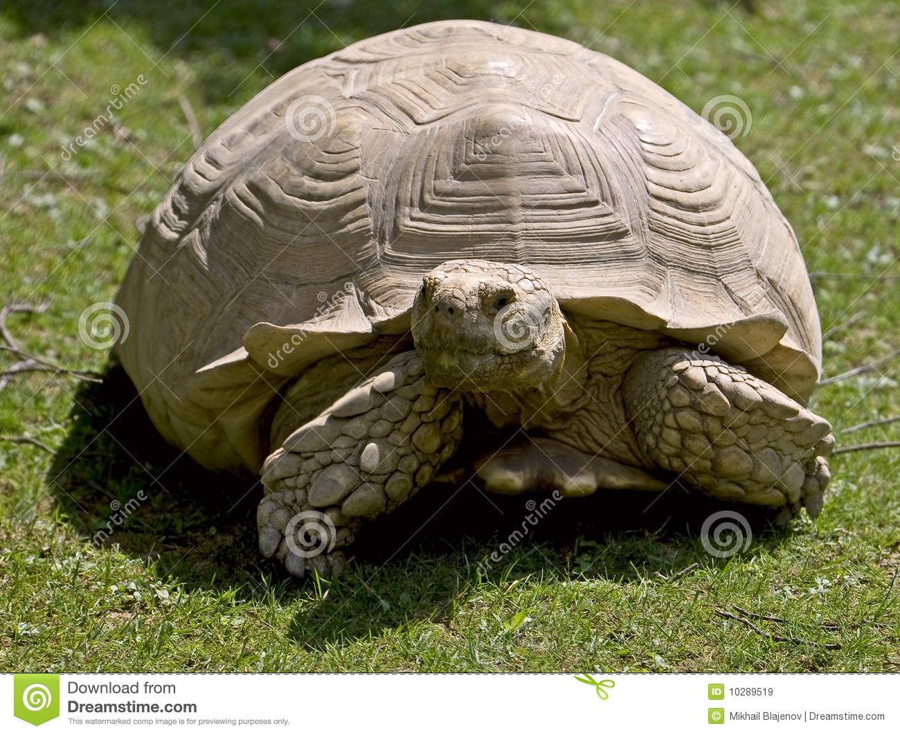 African Spurred Tortoise 6 Royalty Free Stock Images.