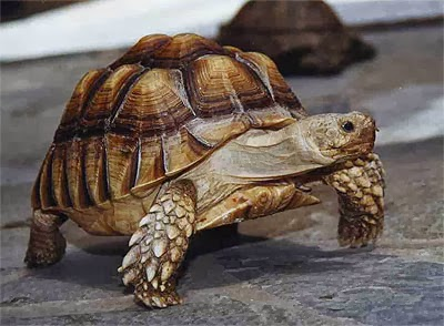 Rules of the Jungle: The African Spurred Tortoise.