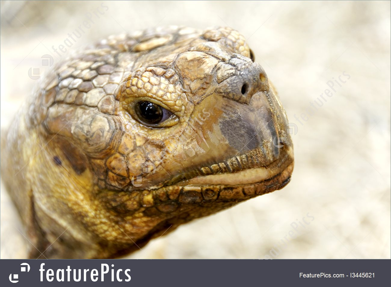 Photo Of African Spurred Tortoise Head.