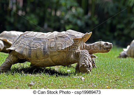 Picture of African spurred tortoise walking.
