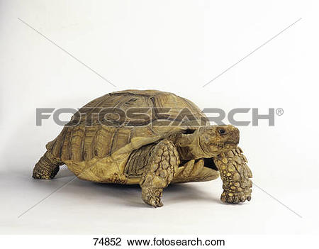 Stock Photo of African Spurred Tortoise.