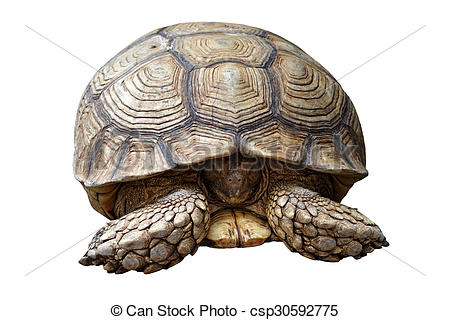 Picture of african spurred tortoise or geochelone sulcata isolated.