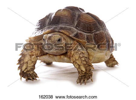 Pictures of African Spurred Tortoise.