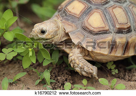 Stock Photo of African Spurred Tortoise (Sulcata) k16790212.