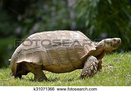 Stock Images of African spurred tortoise walking k31071366.