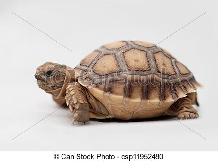 Pictures of African Spurred Tortoise (Sulcata).