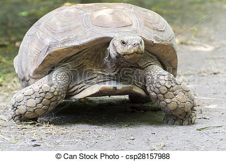 Pictures of African spurred tortoise (Centrochelys sulcata).