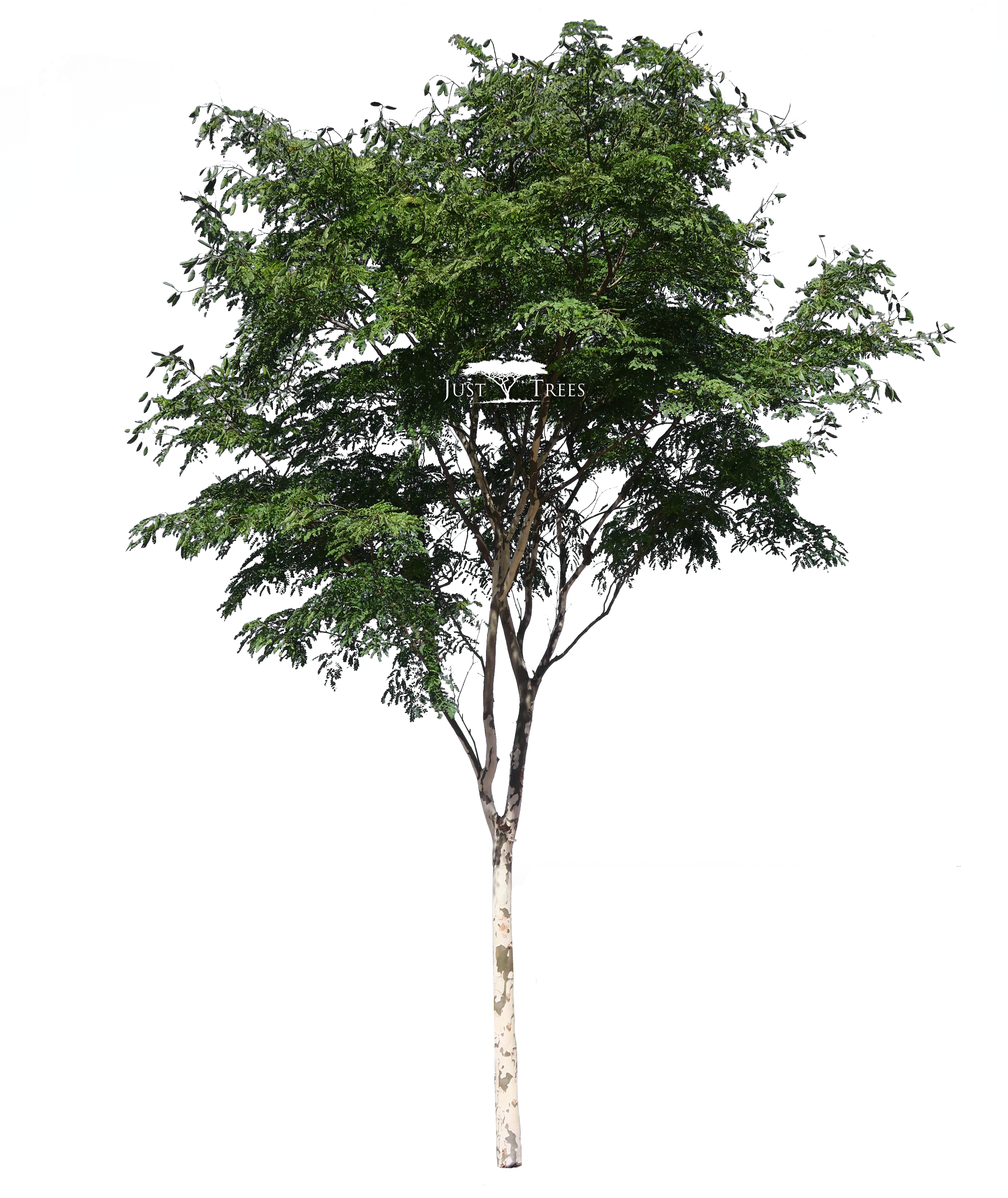 Download Free png Download Caesalpina Ferrea South African Tree Png.
