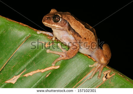 African Tree Frog Stock Images, Royalty.