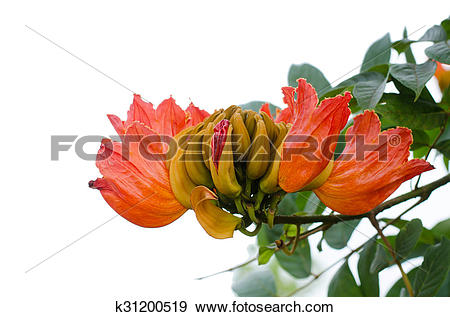 Stock Photograph of Decorative african tulip tree flower ,flame of.